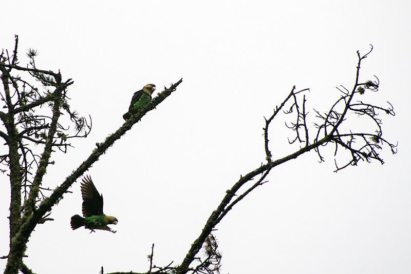 Cape parrot (Poicephalus robustus)