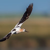 Avocet on Course