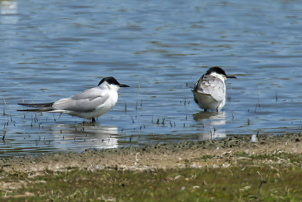 Gull Billed Terns