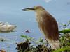 Indian Pond Heron (breeding)