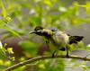 Juvenile Loten's Sunbird (male)
