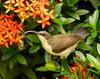 Loten's Sunbird (female)