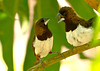 White-rumped Munias