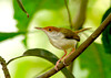 Common Tailorbird-Little bird with a big voice