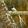 Indian Paradise Flycatcher (Male) Migrant from India