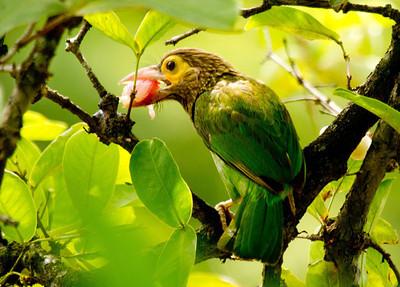 Pigeons, Doves, Trogons, Barbets & Parrots