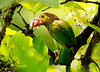 "Brown-headed Barbet ( ""Jambu Kottoruwa"")"