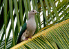 Green Imperial Pigeon- now frequently seen in urban areas