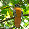 Malabar Trogon (Male)