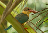 Stork-billed Kingfisher_Boralesgamuwa