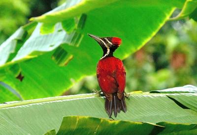 Woodpeckers, Kingfishers & Hornbills