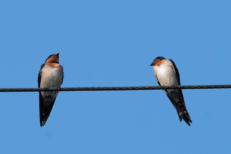 Pacific Swallow 洋燕