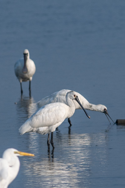Eurasian Spoonbill 百琵鷺 , Black-faced Spoonbills 黑面琵鷺,Great Egrets 大白鷺