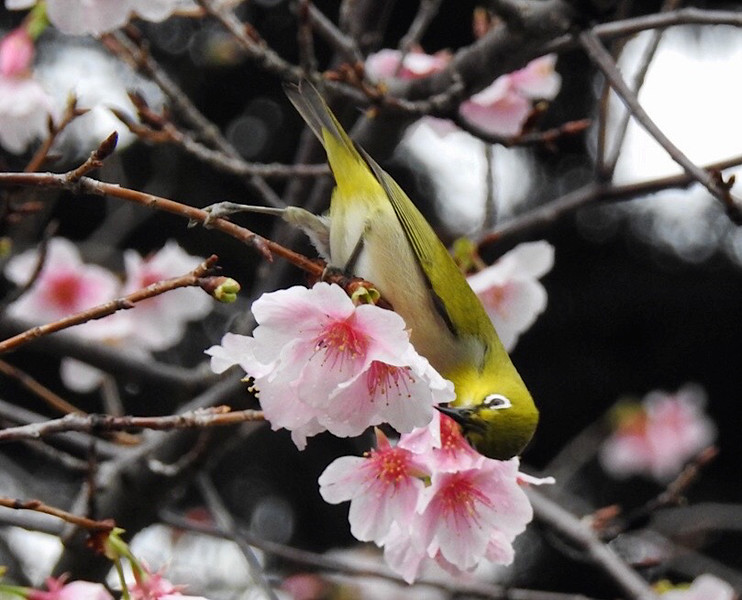 Japanese White-eye 暗綠繡眼