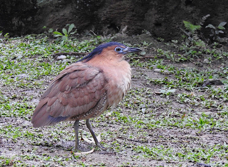 Malayan Night Heron  黑冠麻鷺