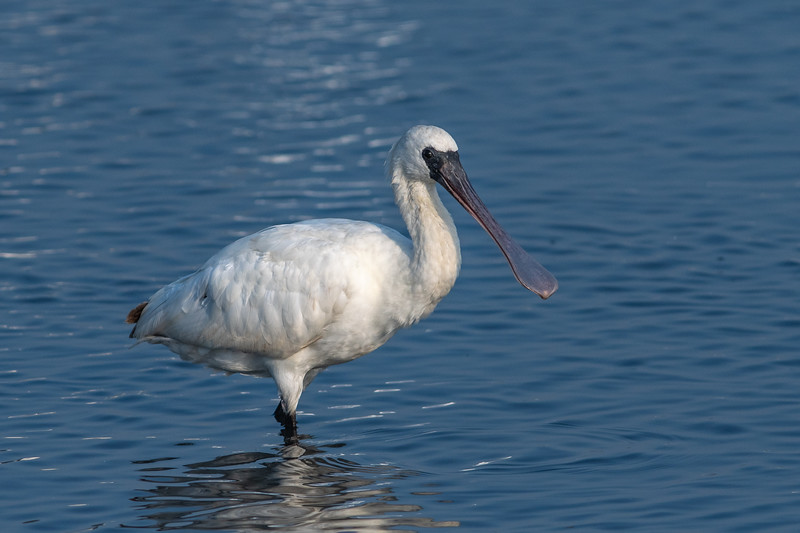 Black-faced Spoonbills 黑面琵鷺
