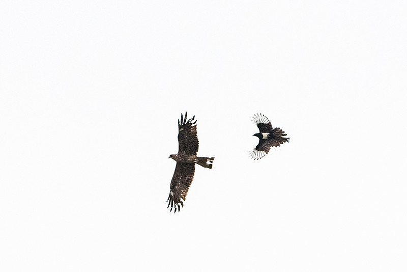 Black Kite and Eurasion Magpie 黑鳶和喜鵲