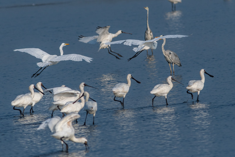 Black-faced Spoonbills 黑面琵鷺,Great Egrets 大白鷺, Grey Egret 蒼鷺