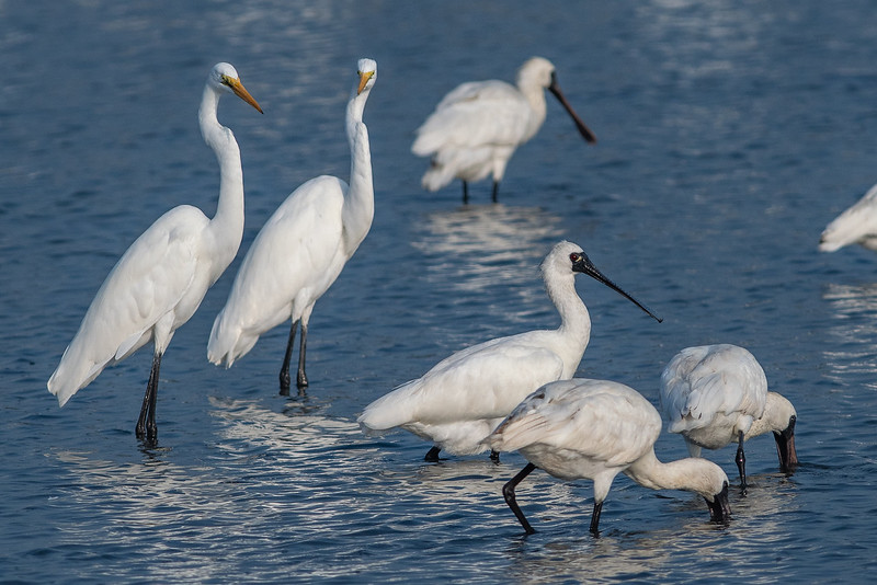 Black-faced Spoonbills 黑面琵鷺,Great Egrets 大白鷺