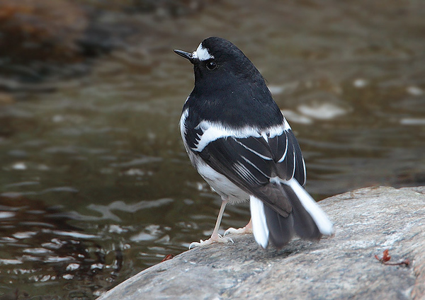 Little Forktail 小剪尾