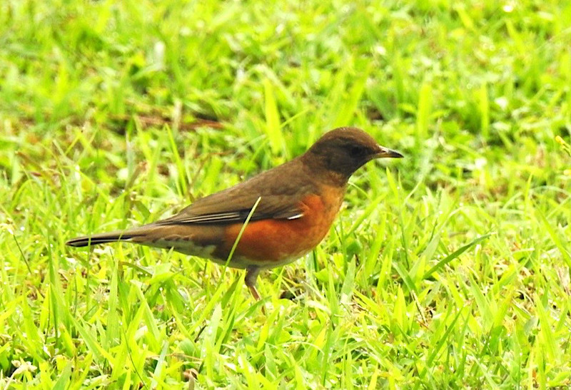 Brown-headed Thrush. 赤腹鶇