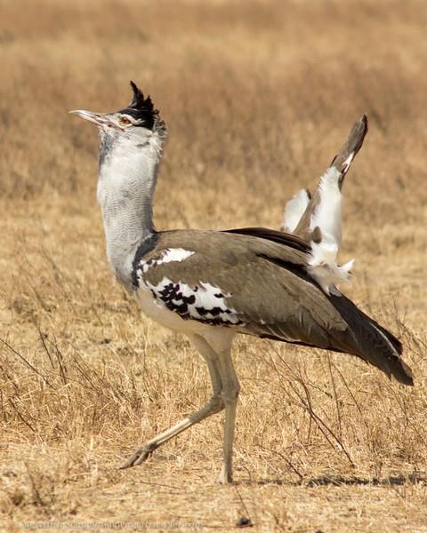 Secretary Bird in Ngorongoro Crater