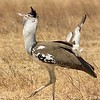 Secretary Bird in Ngorongoro Crater