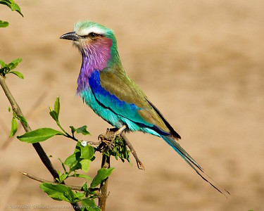 Lilac-Breasted Roller in Tarangire National park