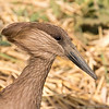 Hamerkop in Ngorongoro Crater
