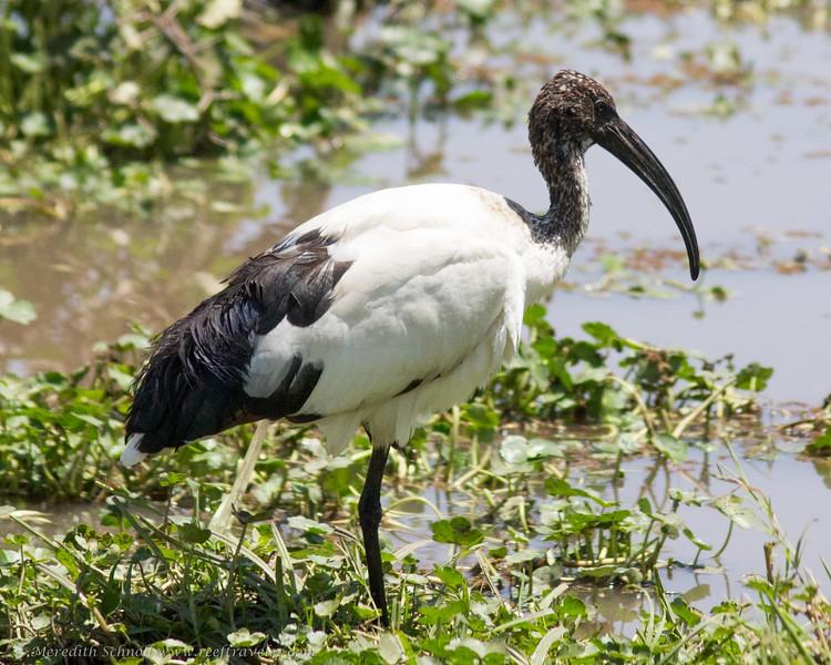 Hornbill in Ngorongoro Crater
