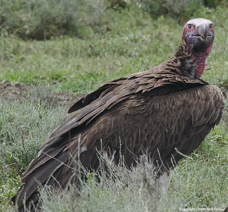 Lappert Faced Vulture