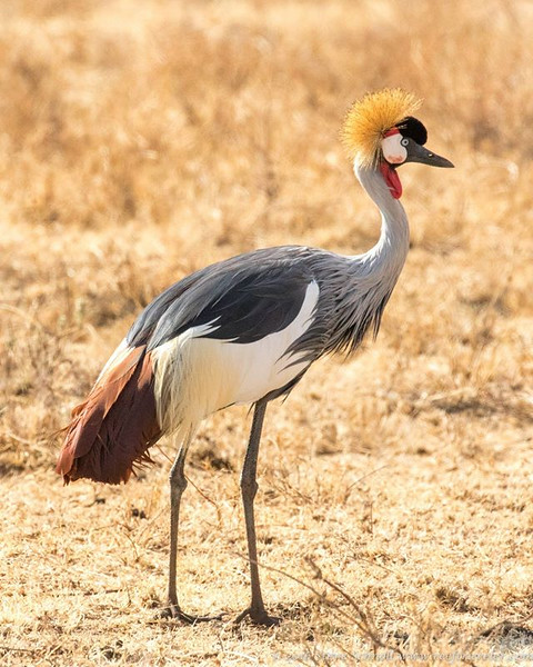 Grey Crowned Crane in Ngorongoro Crater
