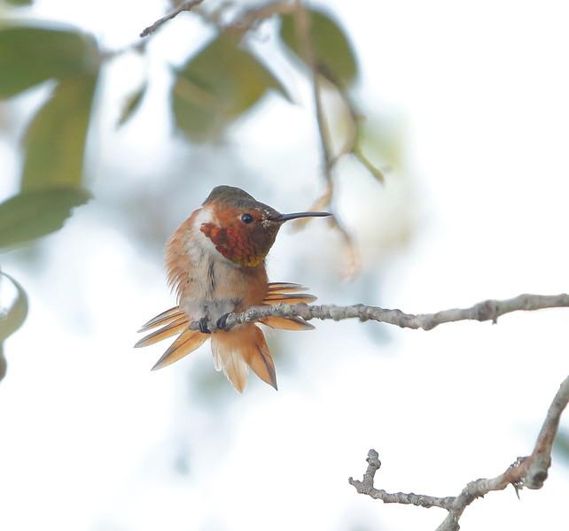Male Allen's Hummingbird (Kerr County, TX)
