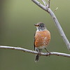 American Robin (female)