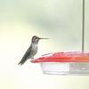 Immature male Anna's Hummingbird (Kerr Co.)