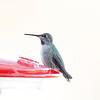 Female Anna's Hummingbird (Kerr Co.)