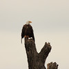 Bald Eagle drying off.