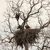 Adult Bald Eagle with eaglets. At the time of this photo the eaglets were 12 weeks old and fledged a couple days earlier.