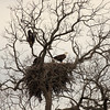 Adult Bald Eagle with eaglets. At the time of this photo the eaglets were about 12 weeks old and fledged a couple days earlier.