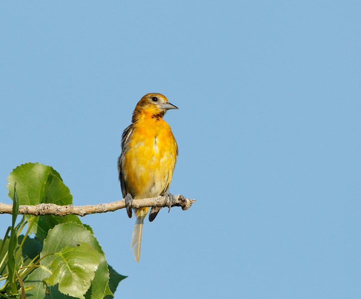Baltimore Oriole (female)