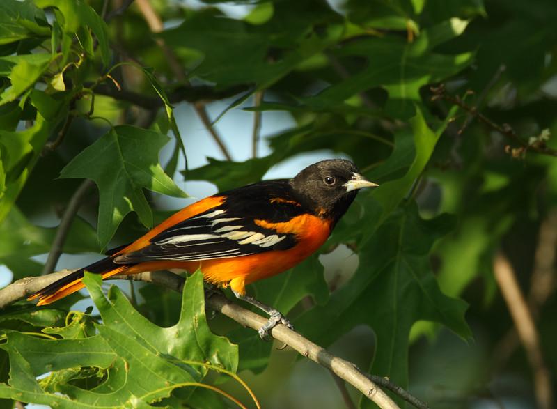 Baltimore Oriole (male)