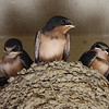 Barn Swallow chicks.