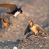 Barn Swallows (juvenile with adult)