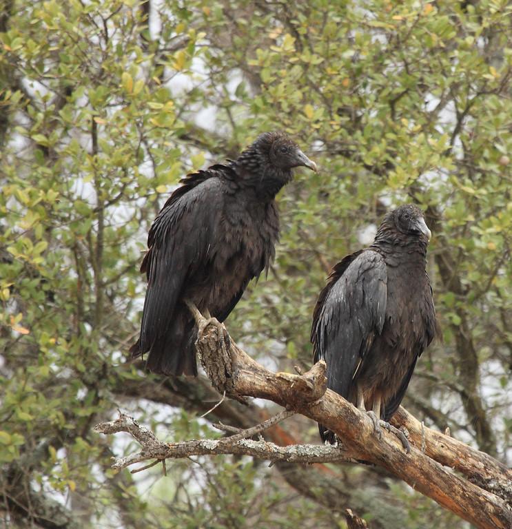 IMAGE: https://photos.smugmug.com/Birds-of-Texas/Black-Vulture/i-3cXwwMC/0/XL/IMG_0817bv1-XL.jpg