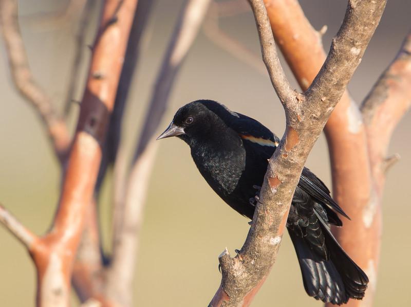 Red-winged Blackbird (male)