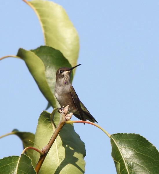 Black-chinned Hummingbird (juvenile male)
