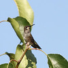 Black-chinned Hummingbird (juvenile male)