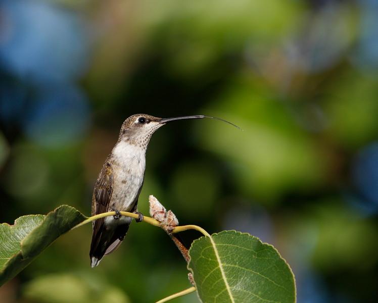 Black-chinned Hummingbird (immature male)