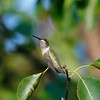 Black-chinned Hummingbird (immature male)