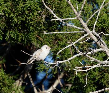 Leucistic Black-chinned Hummingbird (Kerr Co.)